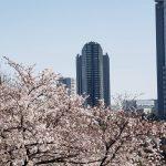 桜満開ですね